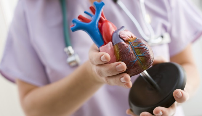 A physician holds anatomical model of human heart.