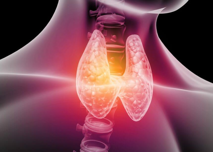 The human thyroid gland